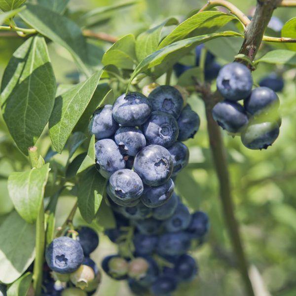 Blue Ray Highbush Organic Blueberry Plant Blueberry Plant Berry