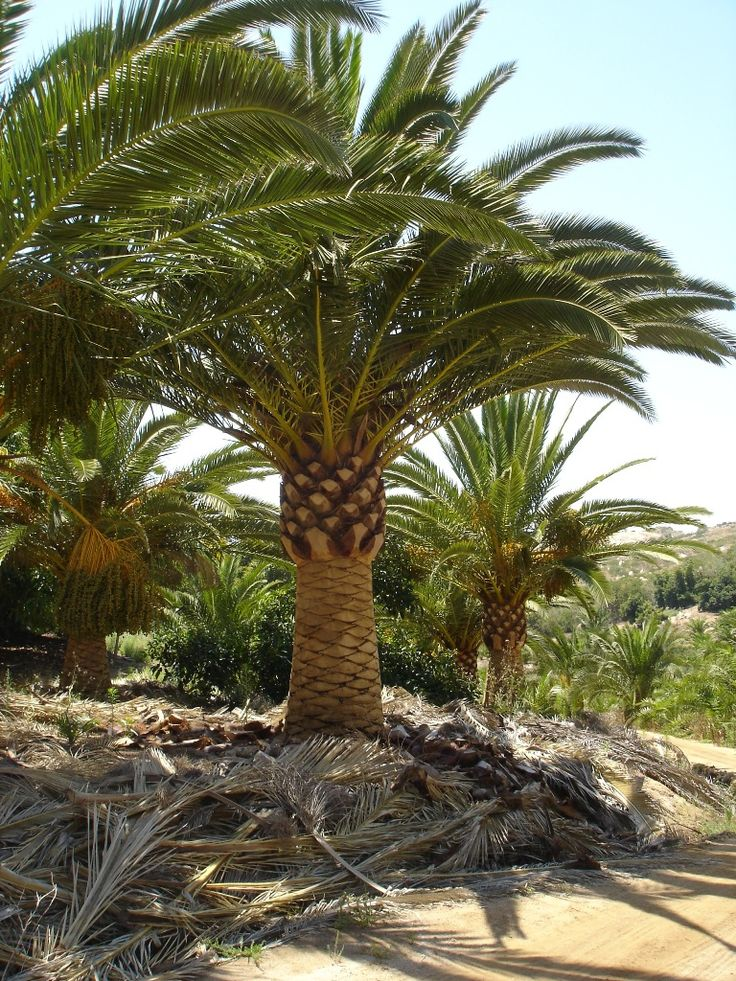 17 best images about palmtrees buy big date palms and for Purchase trees