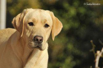 """Bahia """"Aldamity Dancing Queen"""" - Labrador giallo, faccia da furbetta, cuccioli di labrador gialli in arrivo"""