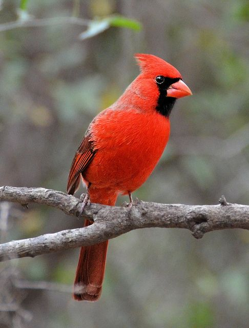 17 Best Images About Rock Hill Sc Backyard Birds On