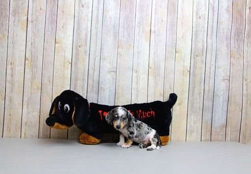 Dachshund Puppy For Sale In Portsmouth Oh Adn 68416 On