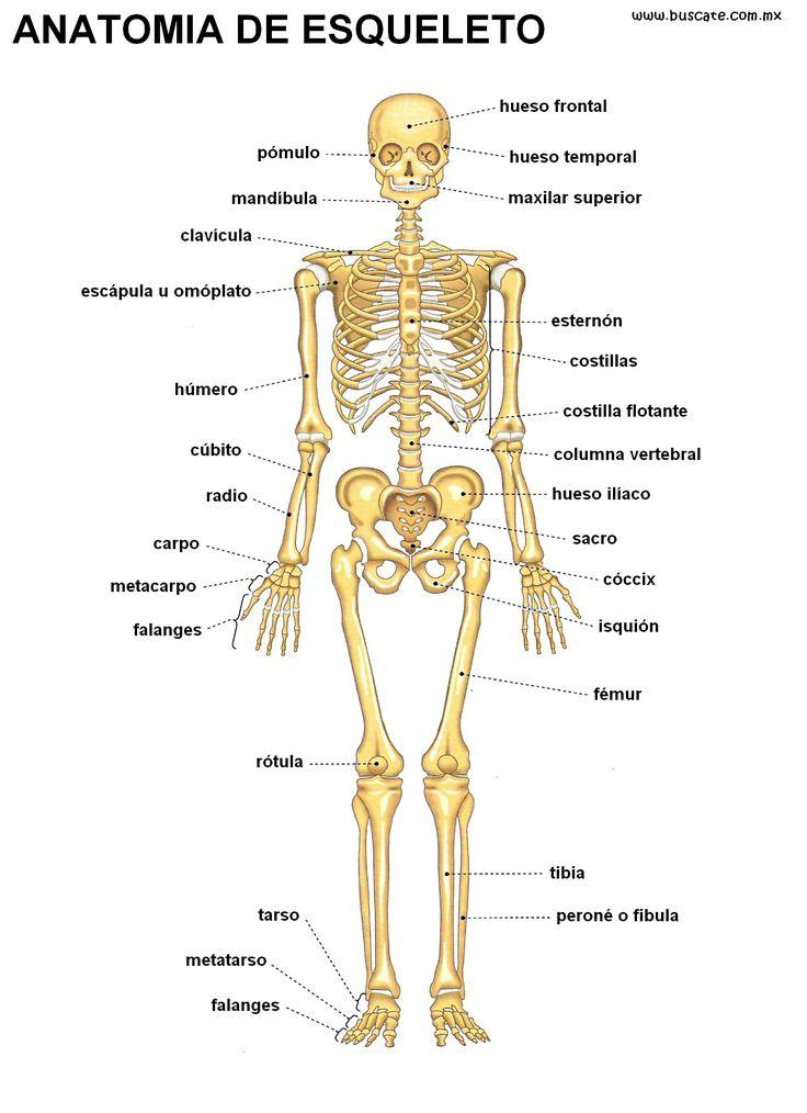 esqueleto humano - Buscar con Google