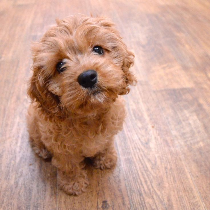 """Sam the Cavapoo mastered the art of the """"please take me"""