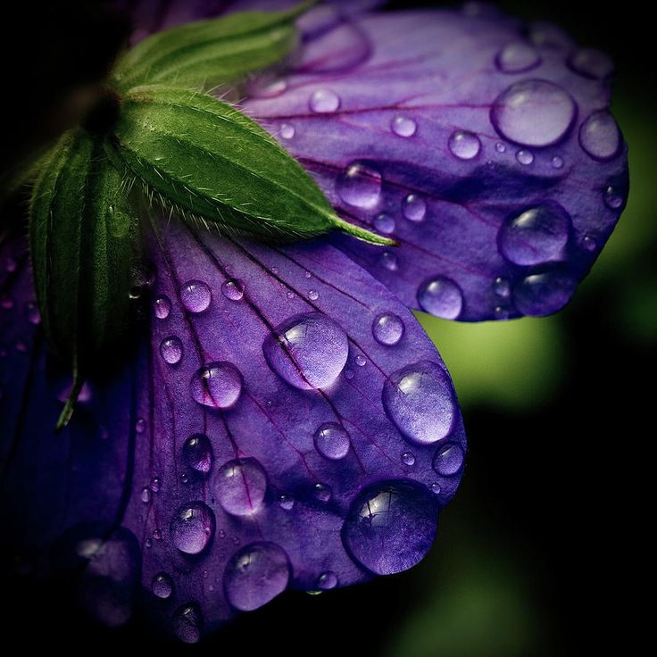 up close flower photos | ... Of Purple Flower Photograph - Closeup Of Purple Flower Fine Art Print