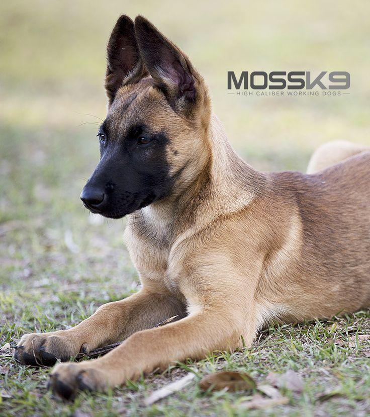 Belgian Malinois Puppy Moss K9 #cute #baby #animals #puppy