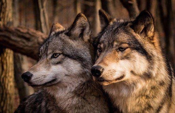 Волчьи повадки - что должен знать о них охотник.    Волк — животное с высокоразвитым интеллектом и мощной психикой. Именно благодаря этому зверь так успешно выживает при всем многообразии изощренных способов борьбы с ним. Во всех странах, где была поставлена задача уничтожить волков поголовно, планы были провалены, а волки прекрасно живут и множатся по сей день. Численность их близится к нулю лишь в самых густонаселенных странах, имеющих малую территорию. Однако это выбор самих волков…
