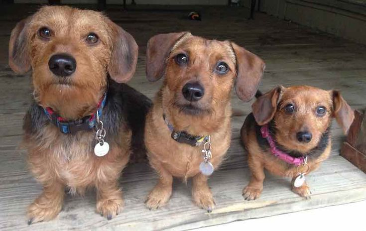 Are Dachshunds Hypoallergenic?   Canna-Pet®