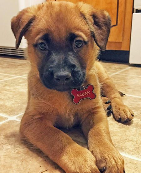 Best 25+ Mixed breed puppies ideas on Pinterest | Dog ...