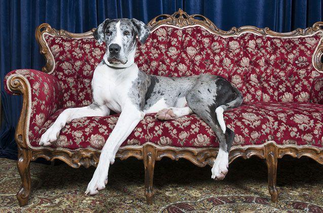 Great Dane Large Dogs Large Dog Breeds Dog Breeds Top 10 Dog