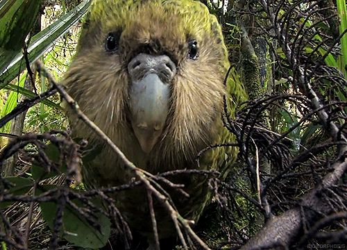 the Kakapo parrot critically endangered  there are only 126 living.it is one of the world's longest living birds with life expectancy of 90 years