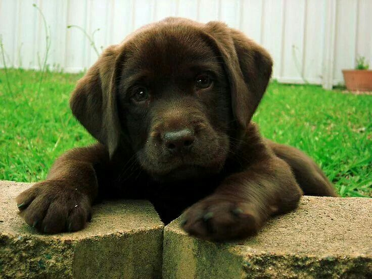 Chocolate lab ♡