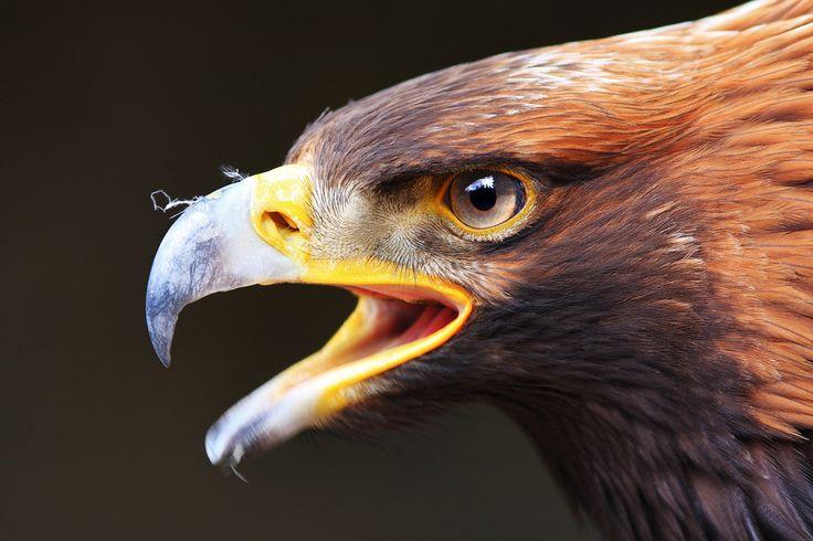 Long lens camera shot! - #Eagle Discover Tasmania #Nature
