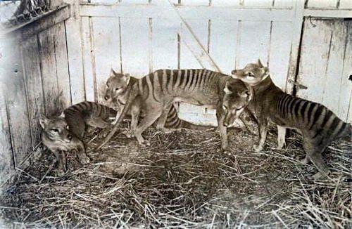 Extinct Thylacine aka Tasmanian Tiger family at Beaumaris Zoo in Hobart 1910