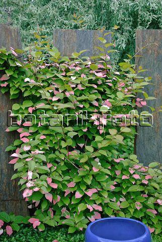 Variegated kiwi vine (Actinidia kolomikta)
