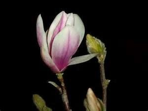 Magnolia in Garden of Love,