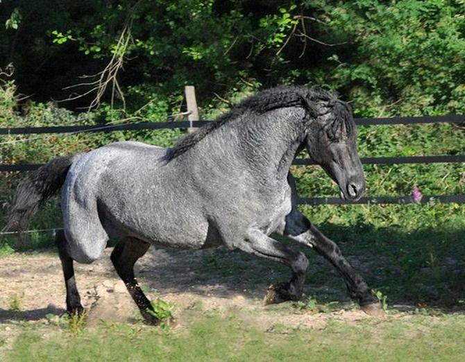 American Curly, double registered Missouri Foxtrotter, blue roan stallion, RCHR Dandy's Memorial Sam.