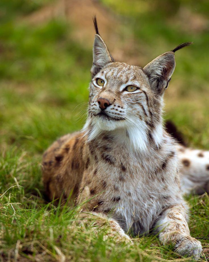 Best 25+ Eurasian Lynx Ideas On Pinterest