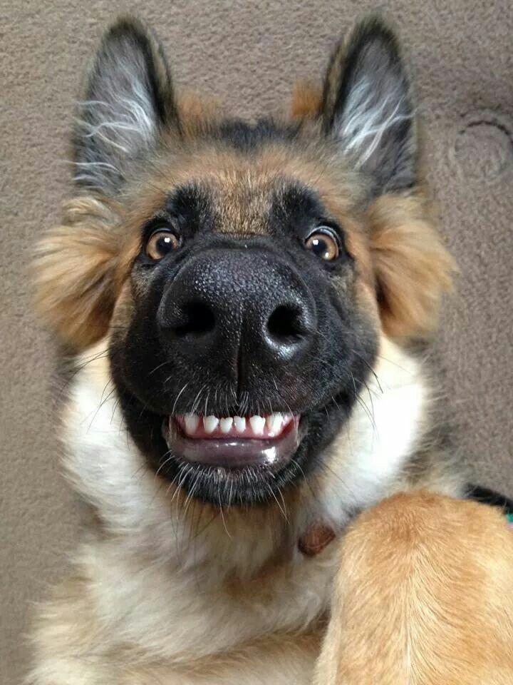 German Shepherds laugh's ... lol .. Smile!!! Luv those teeth!