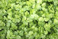 How to Tell When Cilantro Is Ready to Pick | eHow