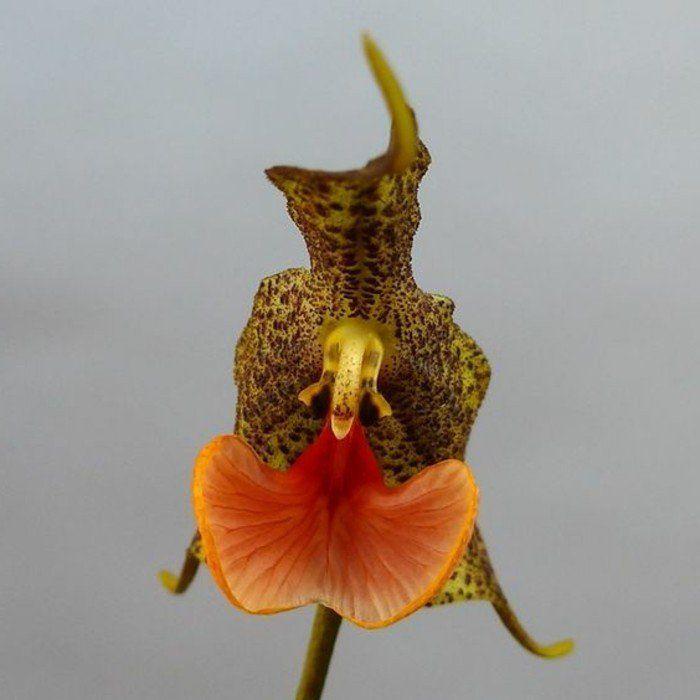 mimétisme des orchidées rares