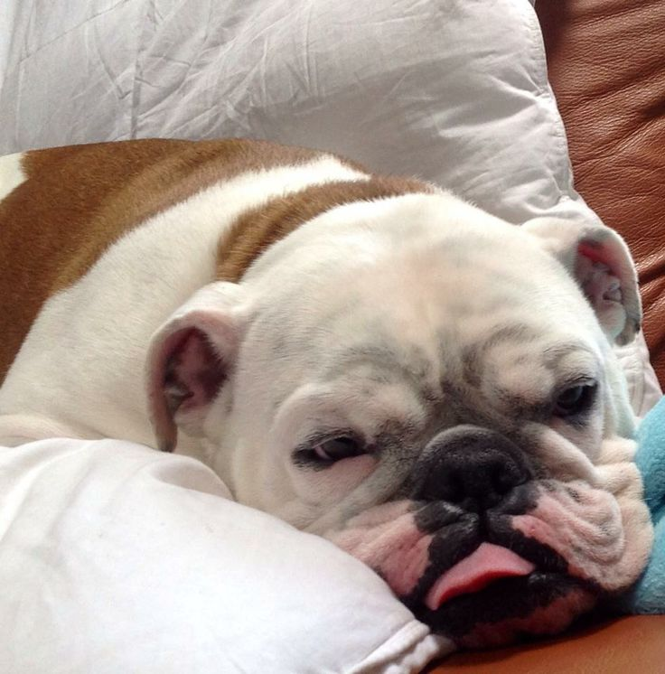 ❤ Kogi on snooze control ❤ Posted on Bulldog Pics