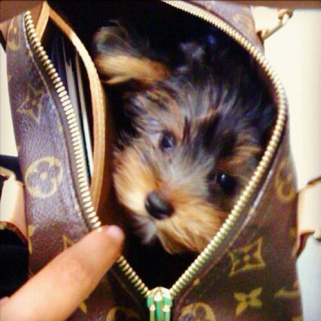All good bags should have a yorkie in them