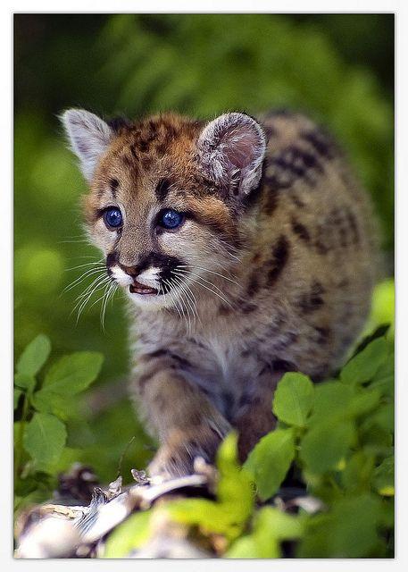 Cougar cub. By Alder Creek Photography ( Cory Christensen)