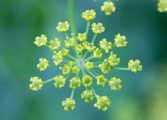 Panais sauvage - informations   Fleurs sauvage du Québec