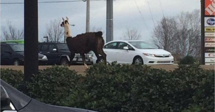 Rogue llama prompts comical response from sheriff's office #U_S_A_ #iNewsPhoto