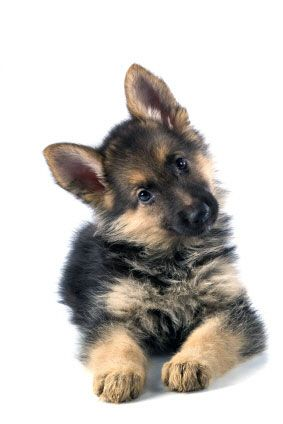 I was just asked if I wanted a German Shepherd puppy.  One of a litter of 13.
