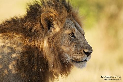 Lion - Masaimara NP - Kenya
