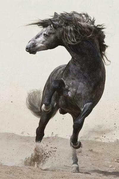 Hest, horse, beautiful, wild, proud, grey, action, animal, cute, nuttet, furry, photo, amazing.