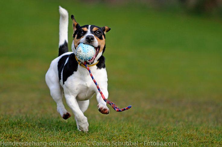 Treibball – das Spiel mit den großen Bällen
