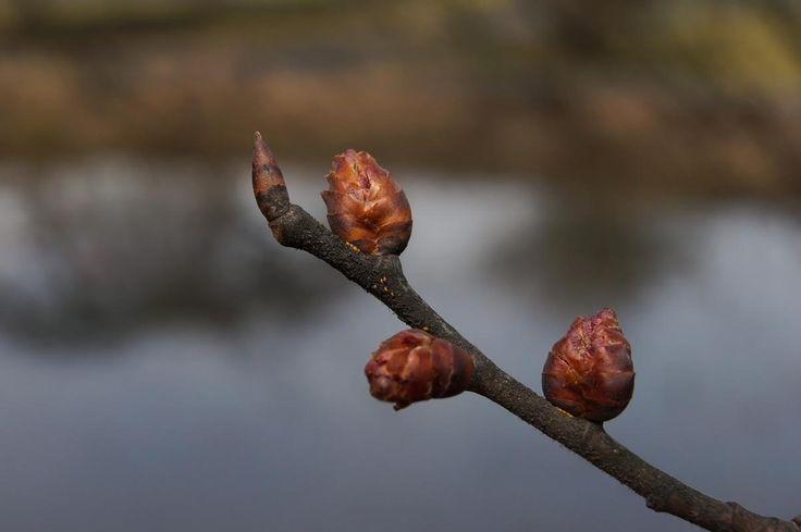 Kynäjalava, Ulmus laevis - Puut ja pensaat - LuontoPortti
