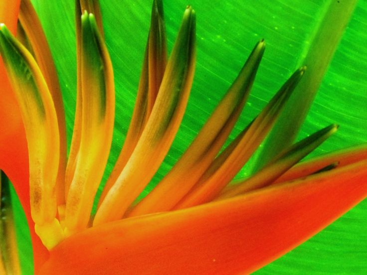 Heliconia from our garden
