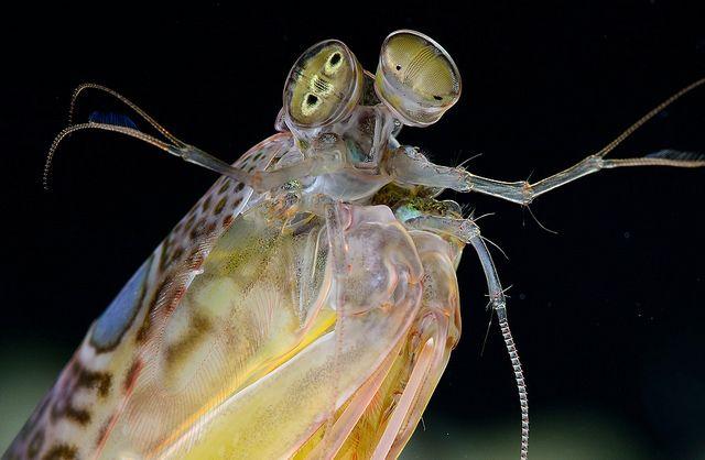 Ojos de langosta mantis, 16 tipos de conos distintos. Mayor sensibilidad al color.
