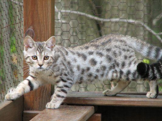 Bengal cats rescue florida