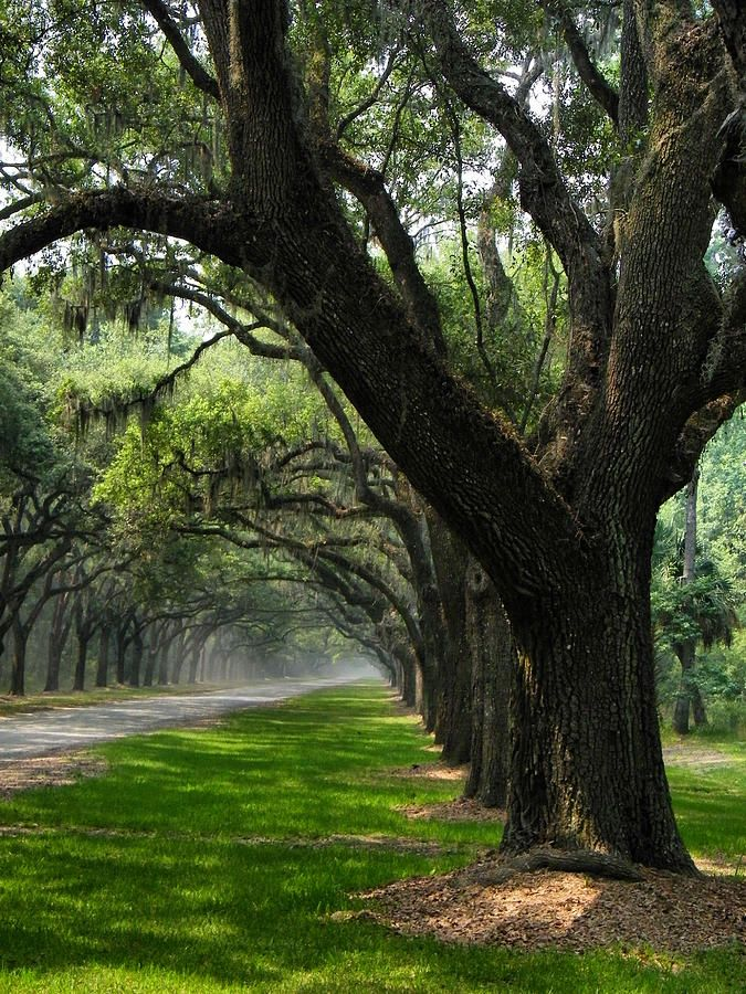 """This image perfectly captures the driveway described in """"The Battered Heiress Blues""""✯ The Avenue of Oaks - Wormsloe Plantation - Savannah, Georgia"""
