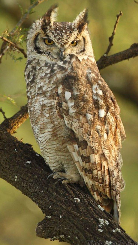 Charm Bracelet - Barred Owl by VIDA VIDA UyKsEDXIQ
