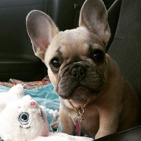 Lucky Lucy, the adorable French Bulldog, #abkc #frenchie french bulldog