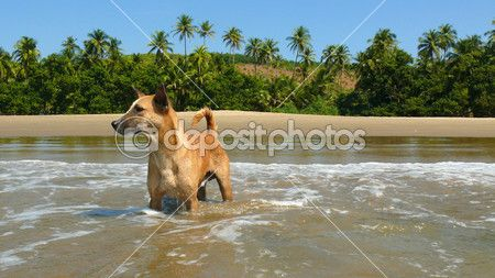 has just been sold to a photo! http://ru.depositphotos.com/17350277/stock-photo-Red-dog-on-the-beach-in-India.html?sst=120=283=167=6mirv