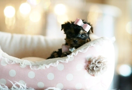 Gail the Yorkie Teacup Puppy For Sale #yorkie #teacup #dog #puppy #forsale #sale