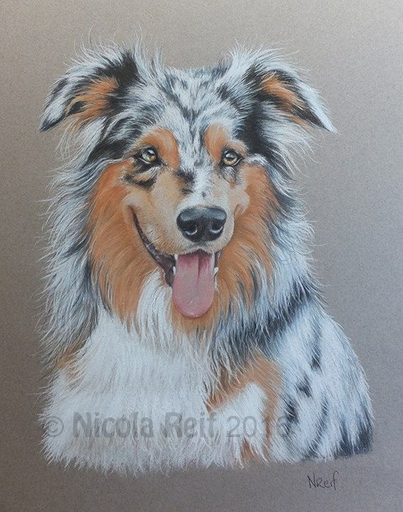 """""""Star"""" the gorgeous border collie. Pastel pencil on A3 canson Mi Teints paper. Pet portrait"""