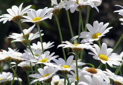 Home gardeners everywhere are growing Shasta daisy. The simple white flowers with yellow button centers are a symbol of purity and are perfect for cutting.