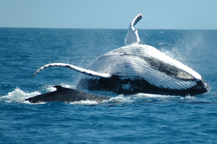 Humpback whales are famed for their songs, most often heard in breeding season when males are competing to mate with females.