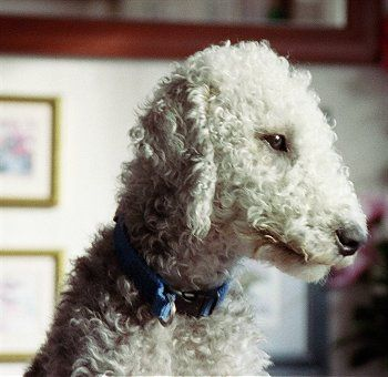 Bedlington Terrier with a non-show groom. This is how we keep our Bedlington, Huxley's, coat. Such sweet dogs. xoxo  9/14