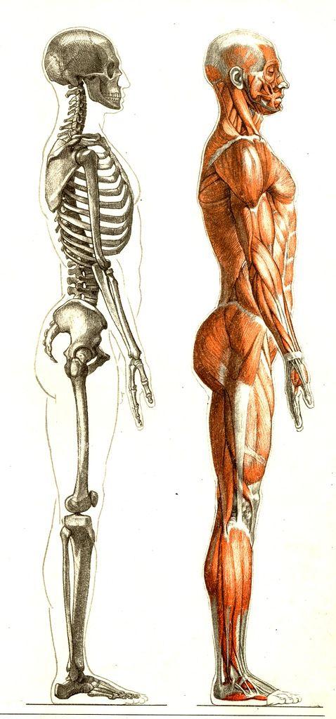 169 best Anatomie images on Pinterest | Human anatomy, Atlas anatomy ...