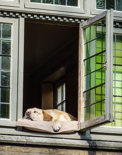 """""""King of Brugge"""" ---- [Photo caption: """"The canal tour guide called this dog the """"King of Brugge"""" It appears his job is to sleep in the window for all the tourist to see during the canal excersions.""""]~[Photograph by Chris(Midland05) (Chris Parfeniuk) - March 24 2012 - Belfont Hallen, Burges, West-Vlaanderen, Belgium]'h4d'120828"""