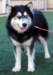 Mabank #49 (Serena) is an adoptable Siberian Husky Dog in McKinney, TX.  ...