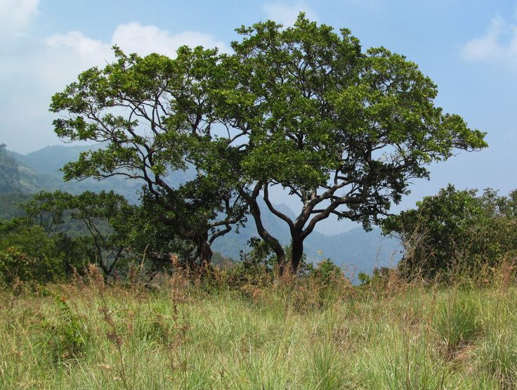 Jungle Tree, on a clear Day (Ganeshpuram Dolman area)